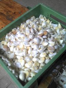 Die Knoblauchzehe müssen vereinzelt werden, um gepflanzt zu werden.